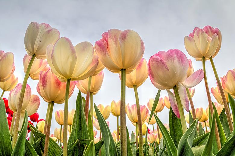 Tulpen uit de polder - Nu een foto met wat meer kleur in de tulpen. Het blijft verbazingwekkend hoeveel soorten tulpen er wel niet zijn.<br /> <br />