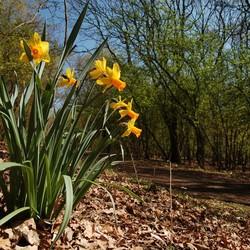 Narcis in het bos