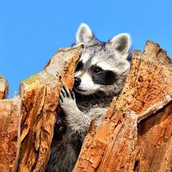 Currious Raccoon