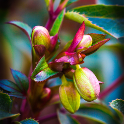 Helleborus_winter bloem