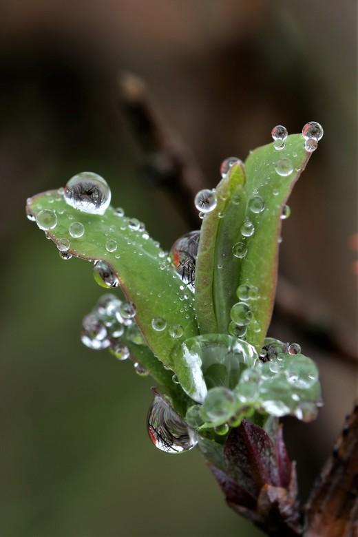 druppeltjes - druppels op een jonge loot van de kamperfoelie  met weerspiegeling<br /> 22-1-2020