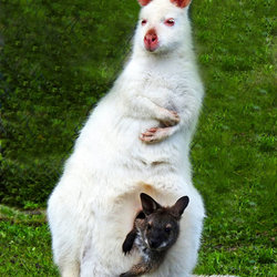 Albino walibi met jong