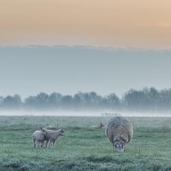Lammetjes in het weiland
