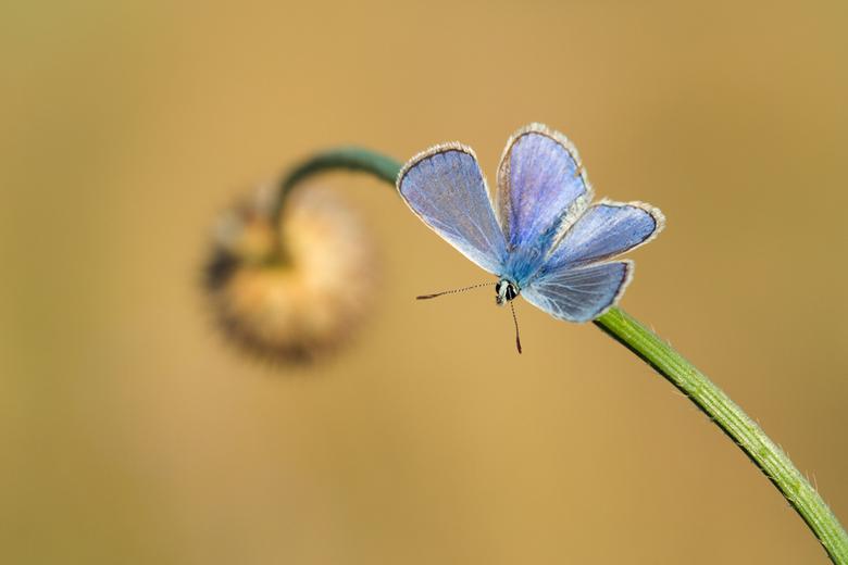 Icarusblauwtje open - Tja, wanneer er veel vlinders zijn kun je kiezen welke je je op de foto gaat zetten. Ik vond deze wel mooi, omdat ik hier de kan