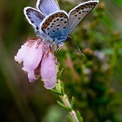 Heideblauwtje I