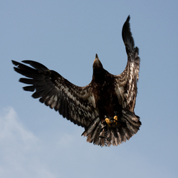 Roofvogelfotografie