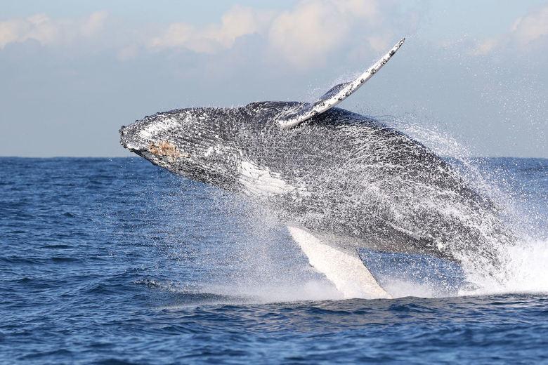 """humpback whale jumping - """"One Shot"""". De Humpackwhale sprong vlak voor onze boot. Ik had geen tijd om alle instellingen te checken cq aan te"""