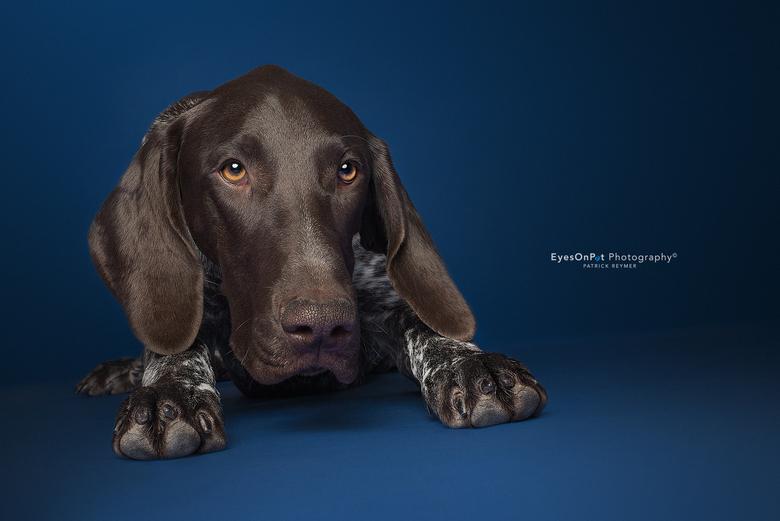 V E N T T - Nog een foto van deze stoere Duitse Staande Korthaar. Een prachtig brave pup van 7 maanden, die netjes op commando bleef zitten.