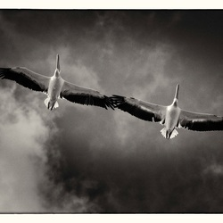 Pelicans flying over The Cape