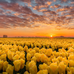 Sun kissed yellow tulips
