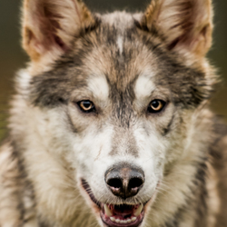 Indian Dog portrait