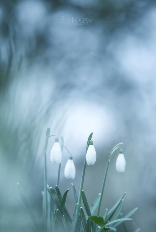 Snowdrops - Vorig weekend sinds lange tijd weer even een relax momentje en heerlijk de buitenlucht opgesnoven. Het is allemaal een beetje te druk gewe