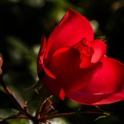 Vandaag verdiende een roos.