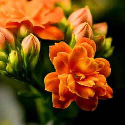 Kalanchoë blossfeldiana orange_4151