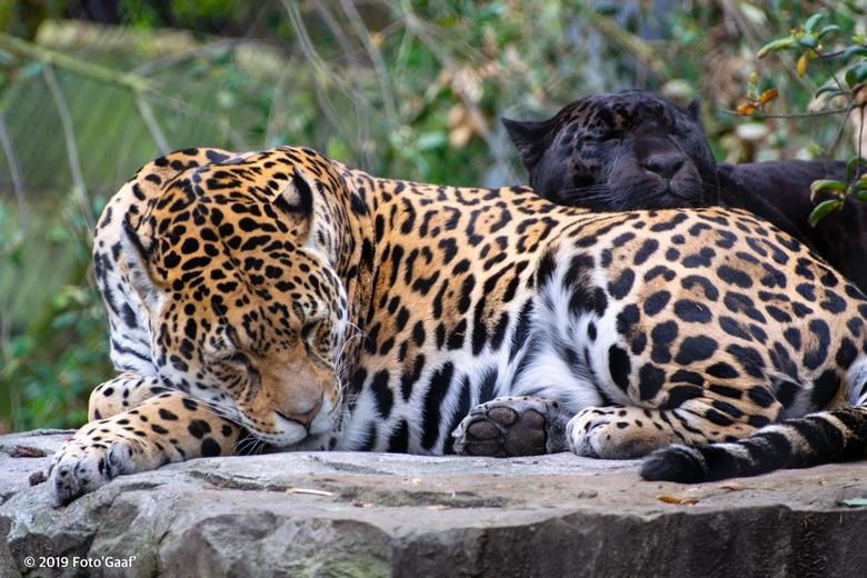 """Samen slapen"" - De jaguars in Artis slapen samen"
