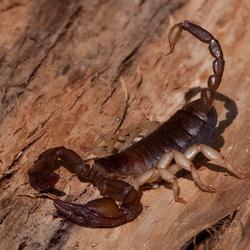 Gevaarlijke Schorpioen