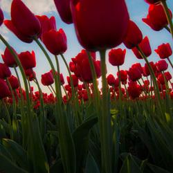 Tulpenwoud
