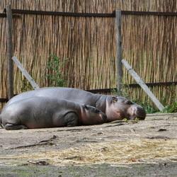 Slapende Nijlpaarden