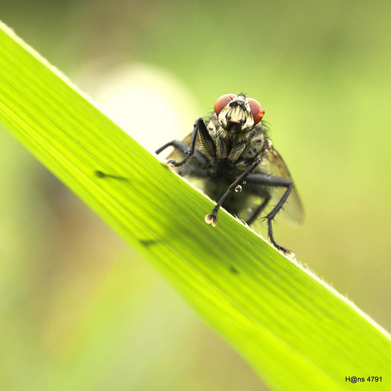 Tears! - Genaakt tijdens het begin van een regenbuitje, de eerste druppels hadden deze vlieg al te pakken genomen, maar maakte deze foto een naam geve