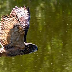 Uil in de vlucht