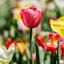 De rode tulip