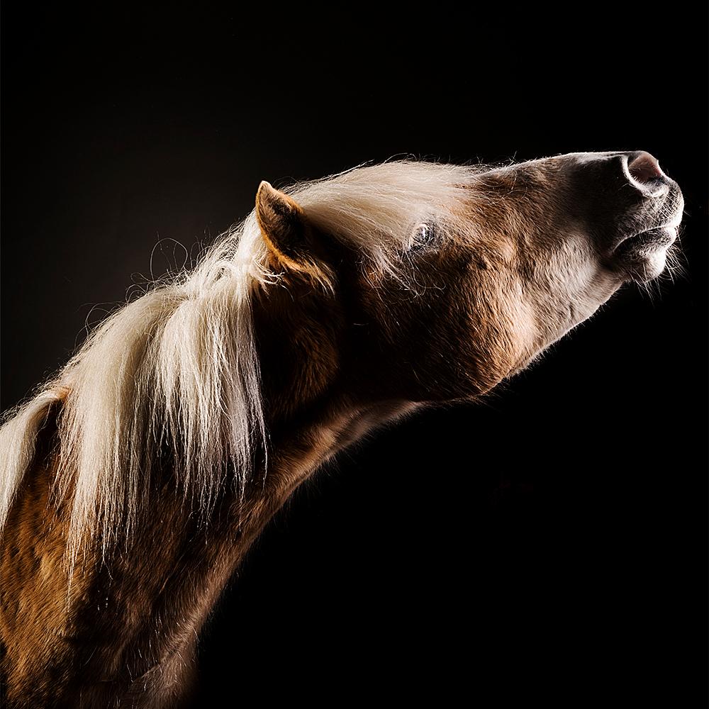 Studio portret paard