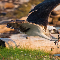 Perfect picture timing - Osprey catching his prey