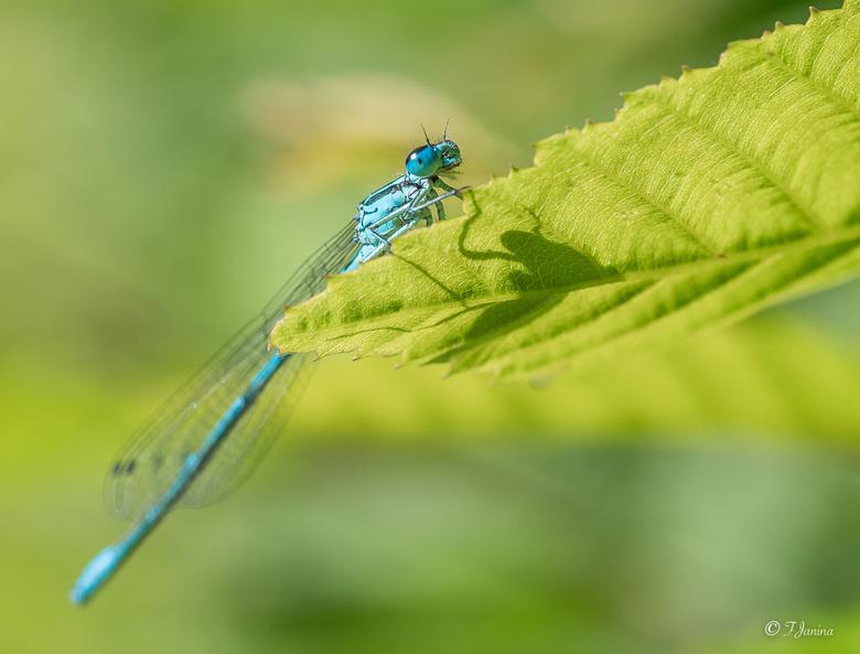 Nieuwsgierig juffertje - Juffertje in het groen hangend aan een heg. Links water en rechts een hoge heg dus geen scherp staartje.<br /> <br /> Dank