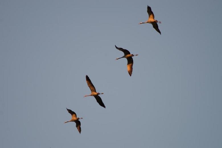 Kraanvogels - Ik vind ze geweldig