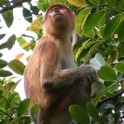 2009 Borneo neusaap.jpg