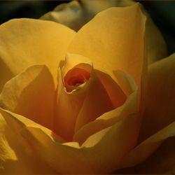 Gele roos.....