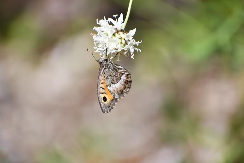 Heidevlinder in Gorges de la Nesque - Tijdens een rondritje door gorges de la Nesque, kwam ik deze rakker tegen
