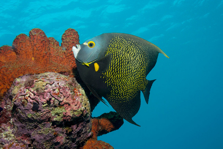French angelfish - Een French angelfish onder de zout pier van Bonaire.