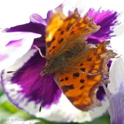 gehakkeld viooltje