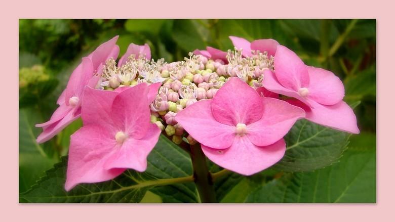 hortensia - roze......................