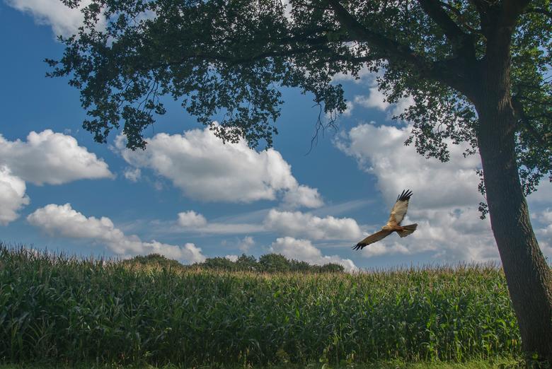 Een bruine Kiekendief zweeft over de akker. -