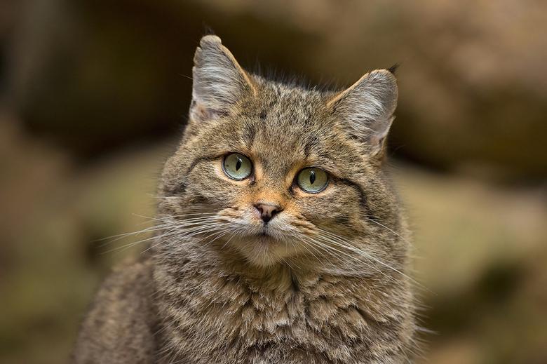 Wilde Kat - Deze Europese Wilde Kat ging er even mooi voor zitten. Foto gemaakt in het Bayerischer Wald in Duitsland.