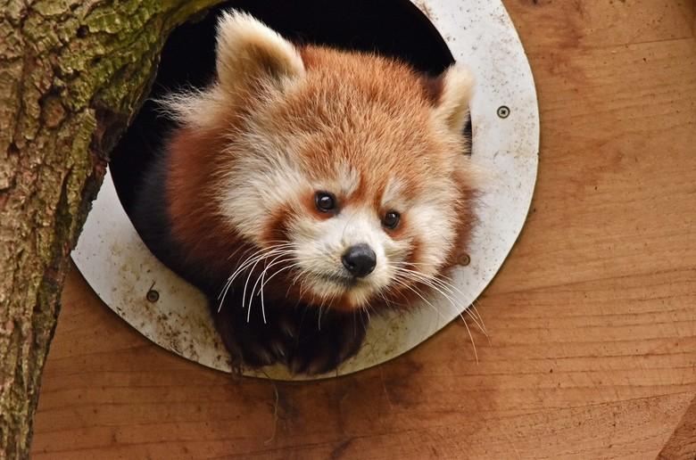 Kijkje - De rode panda kwam een kijkje nemen vanuit haar hol.