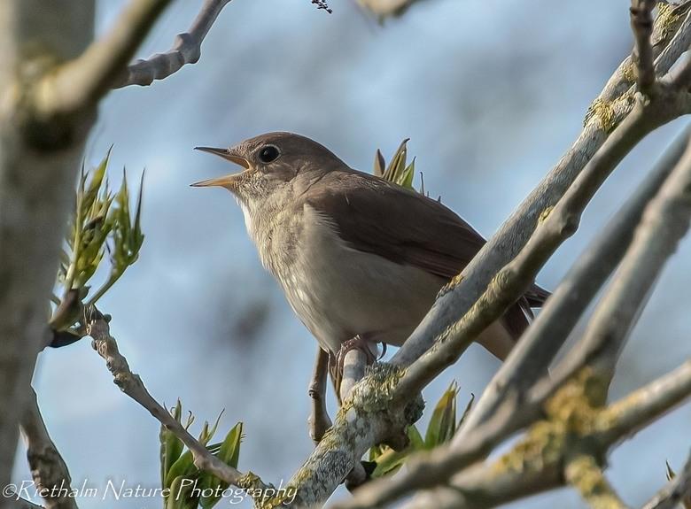 nagtegaal - Het geluk gehad in de natuur bij zoveel vogelgeluiden, de nagtegaal te horen. zoekend zag ik hem zitten maar vloog weer weg. Rustig zitten