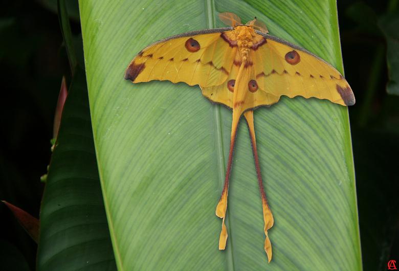 Komeetstaartvlinder - De Argema Mittrei is een nachtvlinder die<br /> alleen voor komt op madagascar.<br /> Zij hebben een spanwijdte van 18 cm<br /