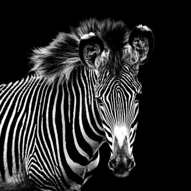Zebra II -