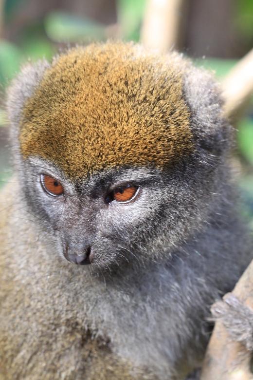Lemur/Maki - Lemur/Maki in Madagaskar wildlife