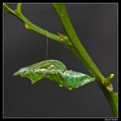 pop Papilio mennon