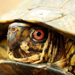 Costa Rica (Turtle)