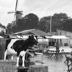 Regen, wind, koe en een molen