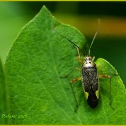Bug of the future, Blindwantsen Miridae