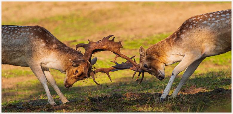 AWD 6-3 - Herten gevecht in het AWD gebied.