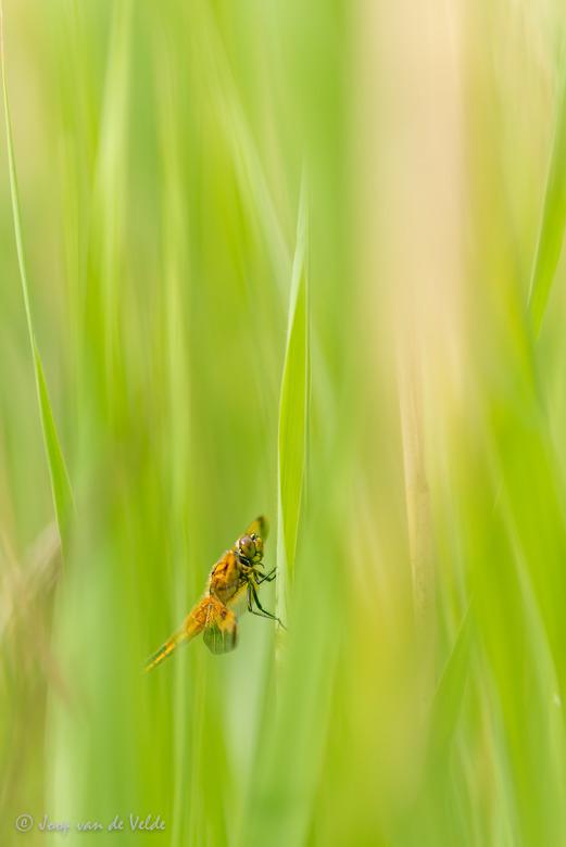Libelle verscholen in t gras -