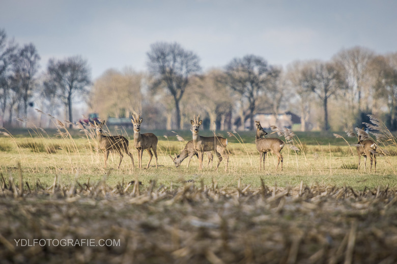 Reeën in Giethoorn -