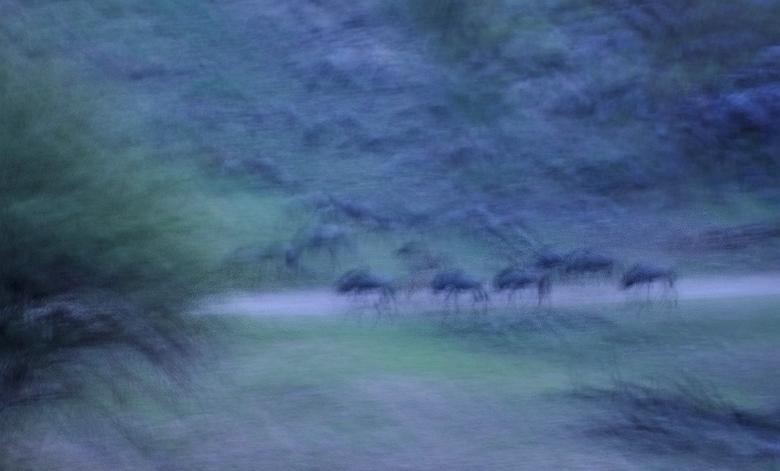Blauwe uurtje - Schimmige beelden in de vroege morgen van een kleine kudde gnoes